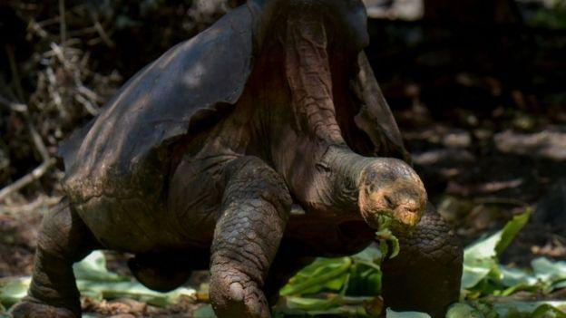 На пенсию вышел 100-летний самец слоновой черепахи, спасший свой вид от...