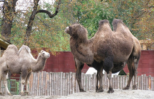Город в Австралии подвергся нашествию диких верблюдов