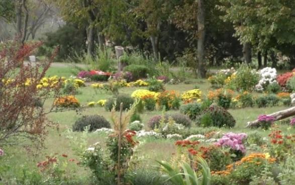 Расцвели! В ботаническом саду Херсона начался бал хризантем