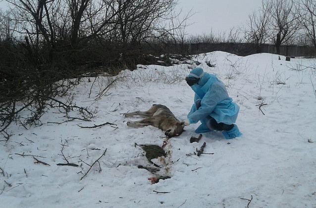 Волк искусал трех человек под Бердянском