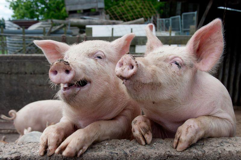 Дожились: Украина стала вдвое больше покупать свинины
