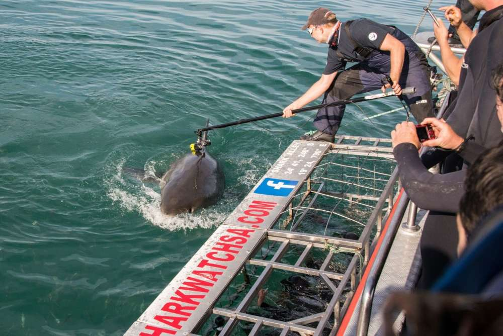 Ученые показали охоту на морских котиков глазами акулы