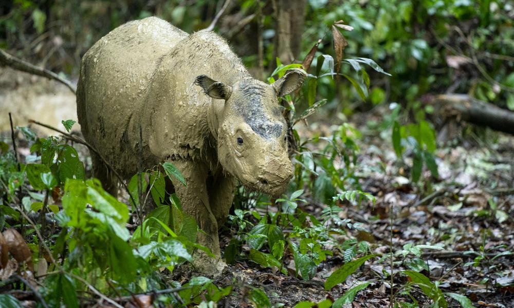 Ученые хотят клонировать исчезающих суматранских носорогов