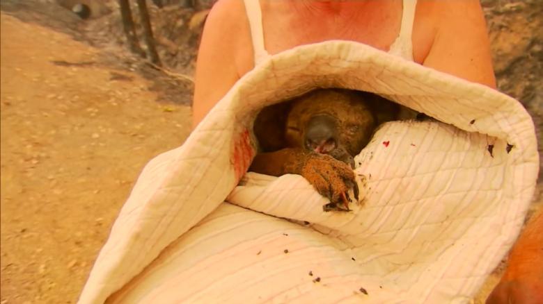 Спасенную на пожаре коалу пришлось усыпить