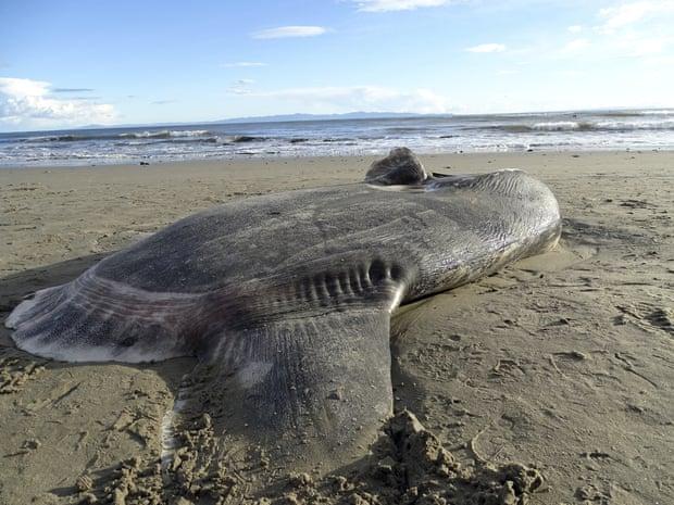 В Калифорнии на пляж выбросило гигантскую рыбу без хвоста