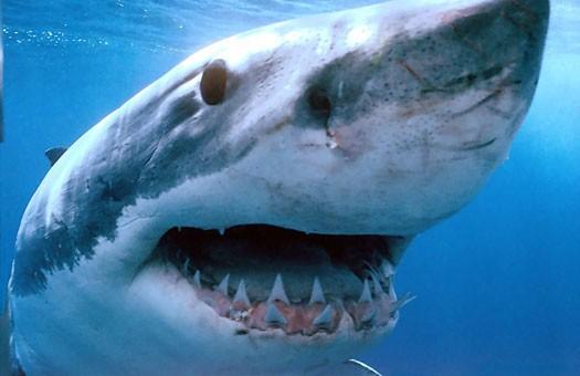 В Тихом океане появится первый заповедник для акул