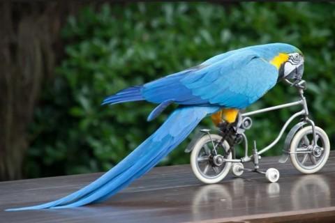 Китаец научил попугая ездить на велосипеде и роликовых коньках