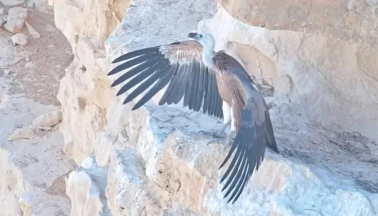 В Израиле орнитологи при поддержке спецназа вырастили грифа с помощью др...