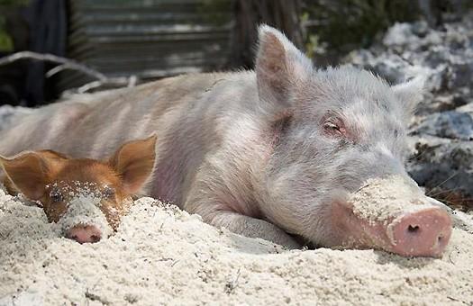 Зафиксирован случай заражения свиньи гриппом A/H1N1 от человека