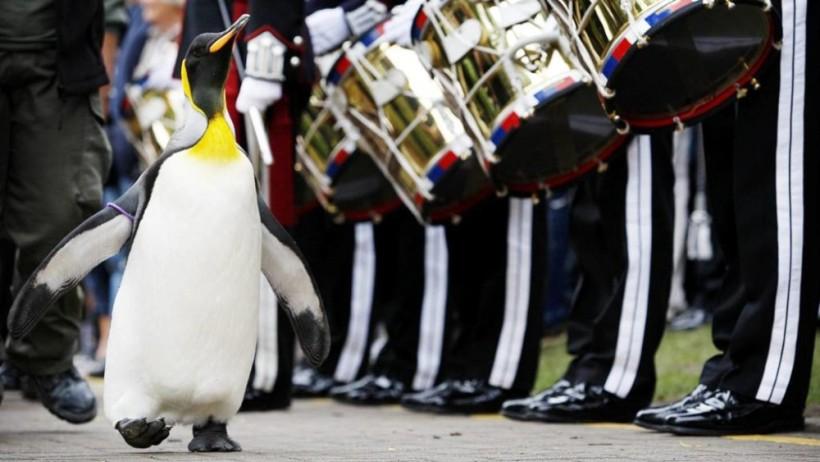 Пингвин из Шотландии дослужился до генерала в норвежской гвардии