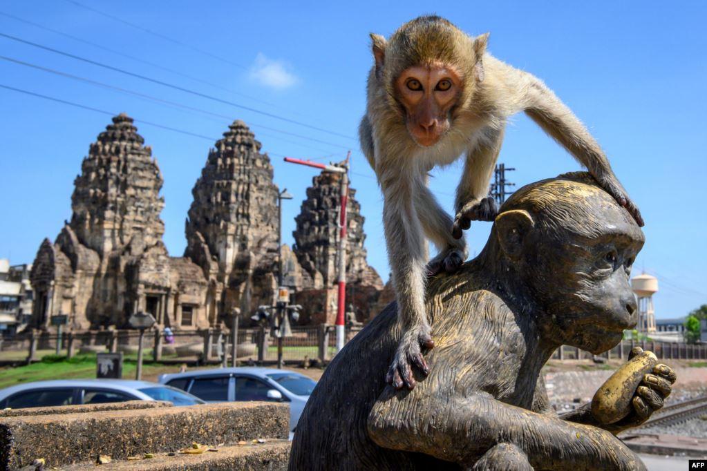 Город в Таиланде атаковали тысячи голодных и сексуально озабоченных мака...