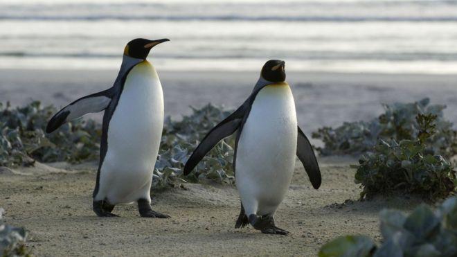 В Германии пара пингвинов-геев высиживает свое первое яйцо
