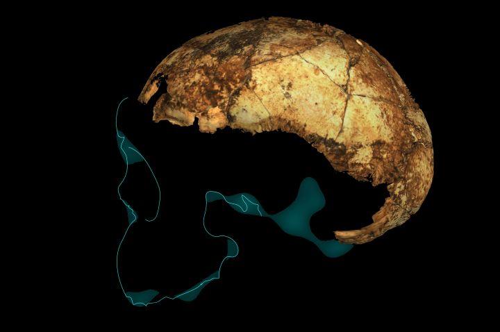 Старше, чем мы думали. Найден древнейший череп человека прямоходящего