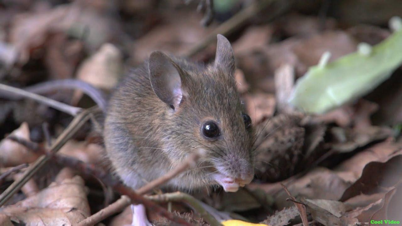 В Ливане нашли мышиные зубы возрастом 11 млн лет