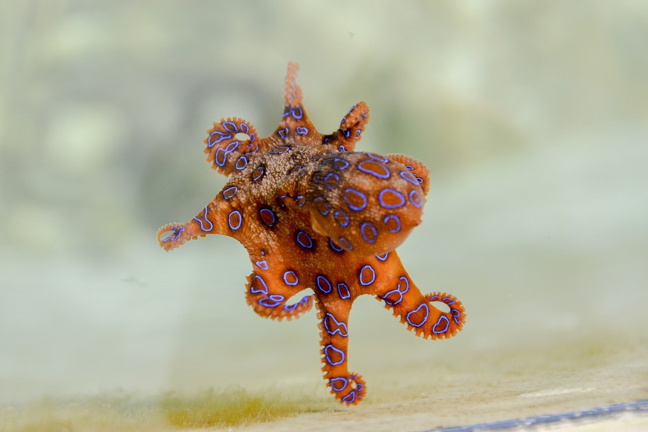 Турист взял в руки самого ядовитого осьминога в мире