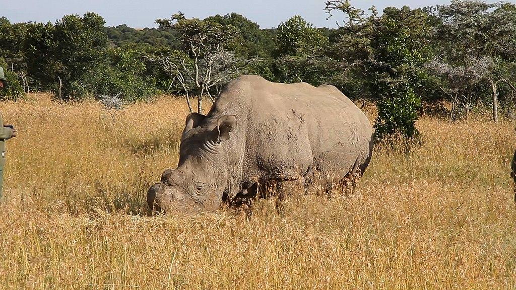 Ученым удалось вырастить два эмбриона северного белого носорога
