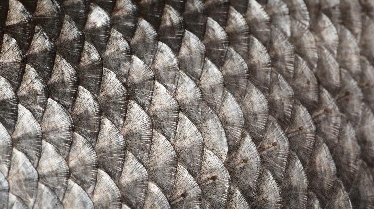 Технологии с морского дна. Ученые считают, что рыбья чешуя поможет самол...