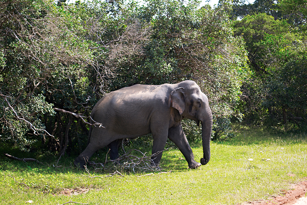 На дальний кордон. Где на Шри-Ланке найти диких опасных животных (фото)