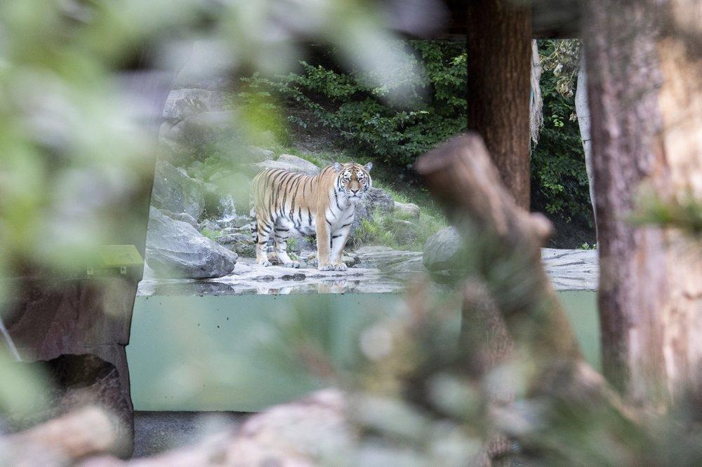 В Цюрихе амурская тигрица загрызла 55-летнюю сотрудницу зоопарка