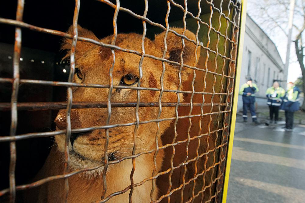 лев, львица, клетка, цирк, фото