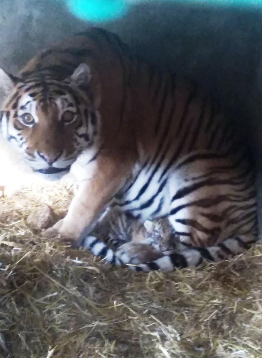 Тигренок, родившийся в одесском зоопарке