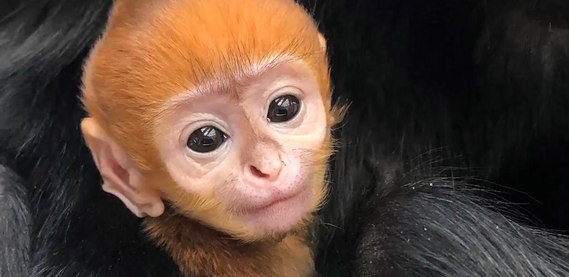 Детеныш редкого вида лиственных обезьян впервые родился в зоопарке Филадельфии (видео)