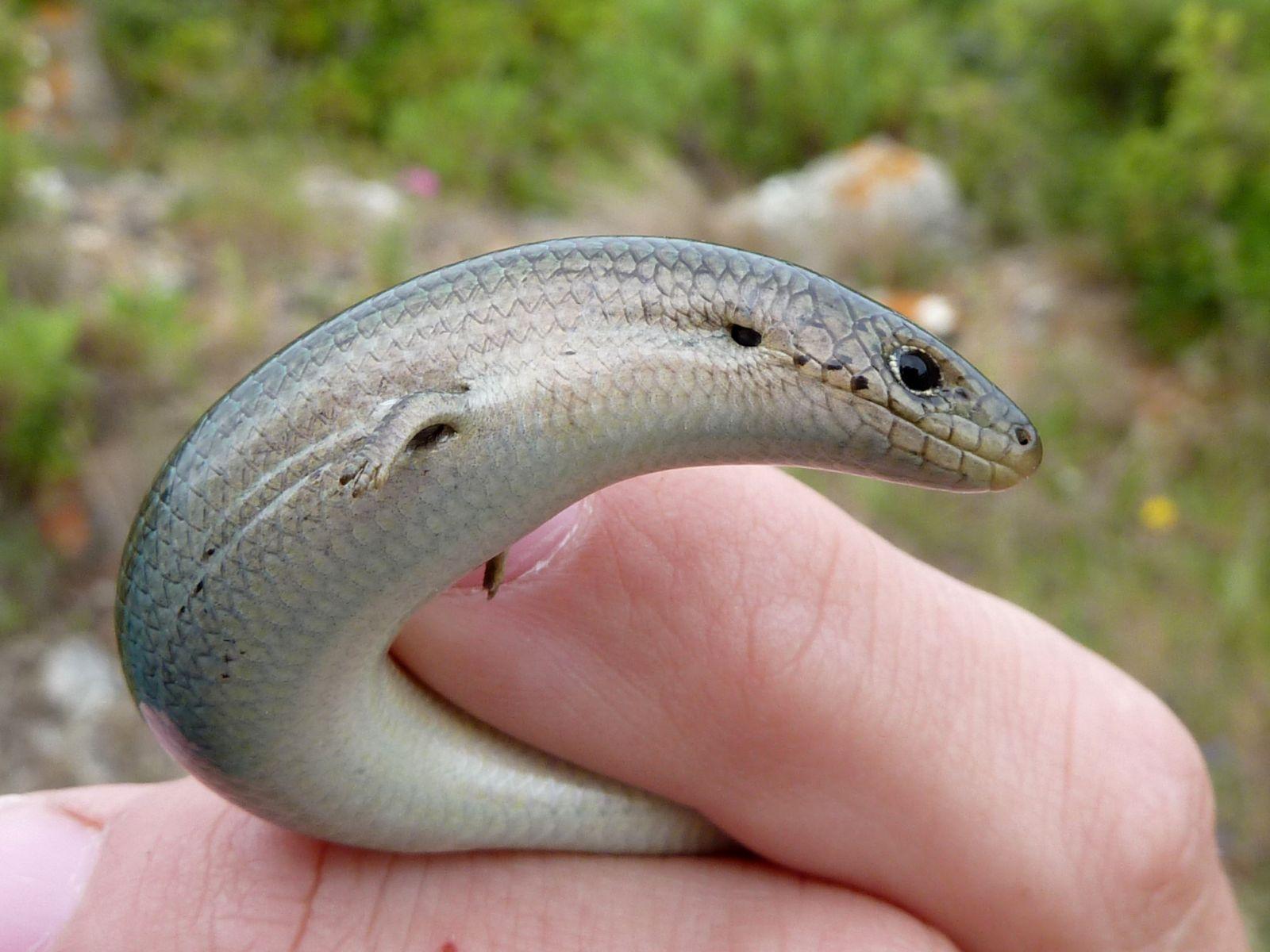 Наглядная эволюция: в Австралии изучают ящерицу, которая откладывает яйц...