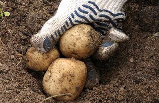 Беларусь отменила ограничения на ввоз украинского картофеля