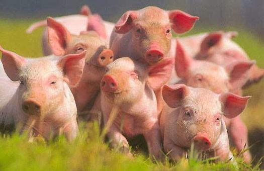 В Украине запретили ввоз свиней из Литвы и Дании