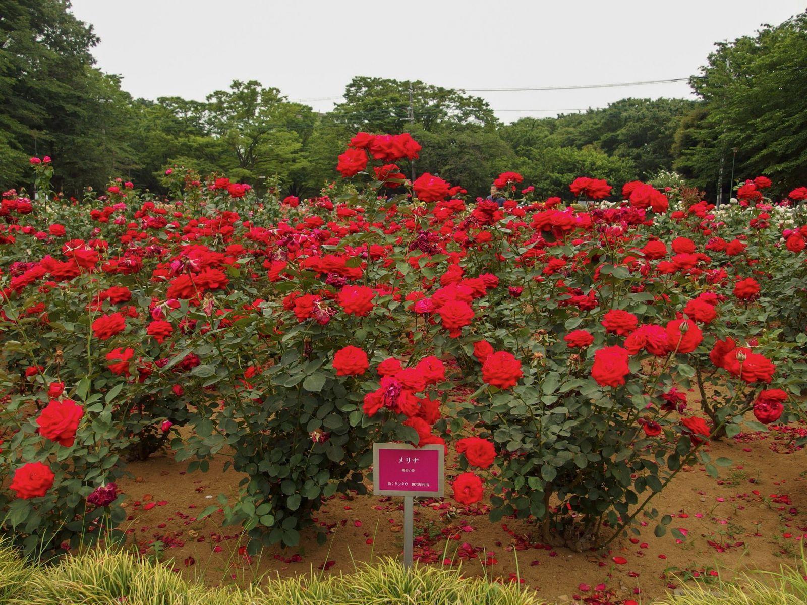 розы, сайтама, япония