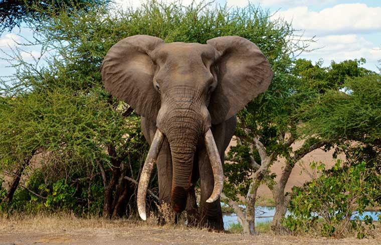 Слон в ЮАР убил браконьера, охотящегося на носорогов