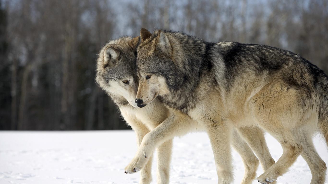 Голодные волки охотятся в селе на Ивано-Франковщине. Численность хищников выросла в 3 раза (видео)