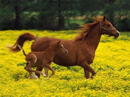 Расшифрован геном лошади