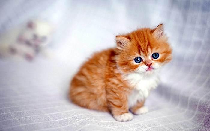 Первый в мире клонированный котенок, вероятно, родится в Китае
