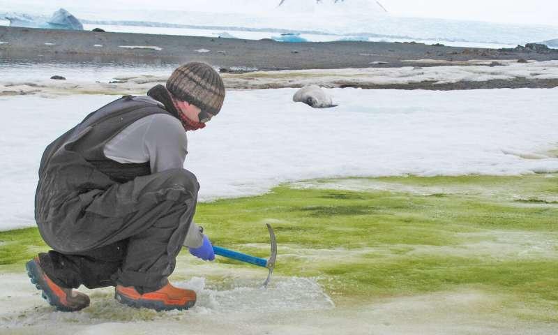 Зеленая Антарктида: южный континент захватывают микроводоросли, растущие...