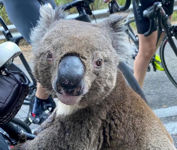 Душераздирающее видео: коала бросилась под колеса велосипедов, чтобы про...