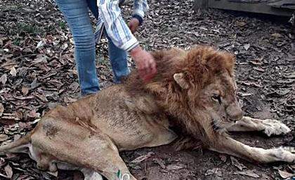 В Колумбии зоозащитники отобрали льва у хозяйки, доведя его до истощения