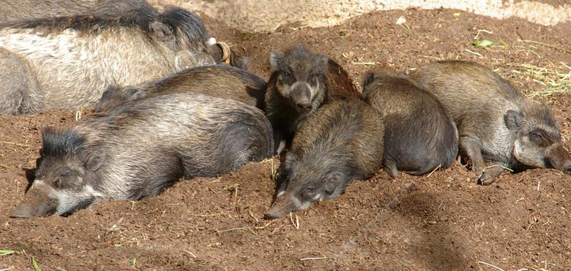 Ученые выяснили, что свиньи могут использовать орудия труда