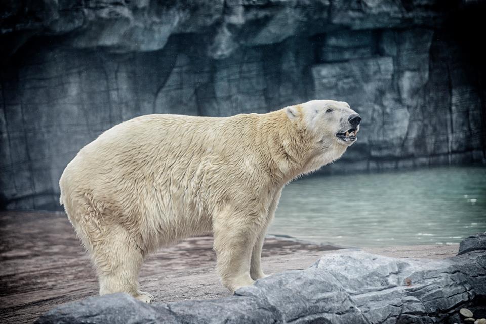 """В Сингапуре умер единственный в мире """"тропический"""" белый медведь"""