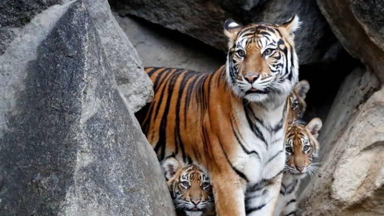 Тигрица в зоопарке Нью-Йорка подхватила коронавирус от смотрителя