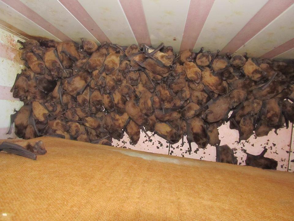 Во Львове 1700 летучих мышей решили перезимовать на одном балконе