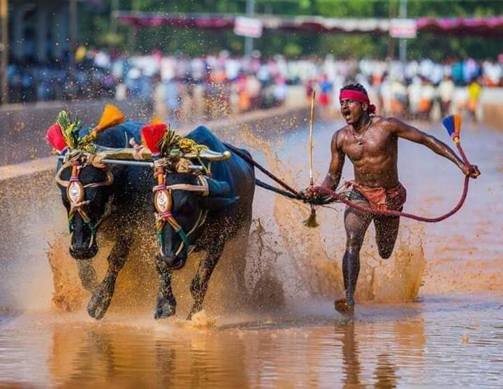 "Индийский бегун побил рекорд Усэйна Болта во время гонки ""Камбала"" с бык..."