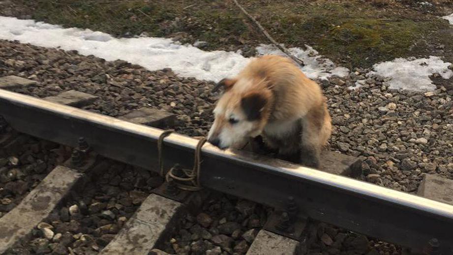 Машинист спас привязанную к рельсам собаку, экстренно остановив электрич...