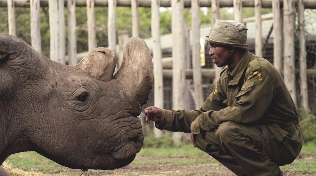 Умер последний в мире северный белый носорог