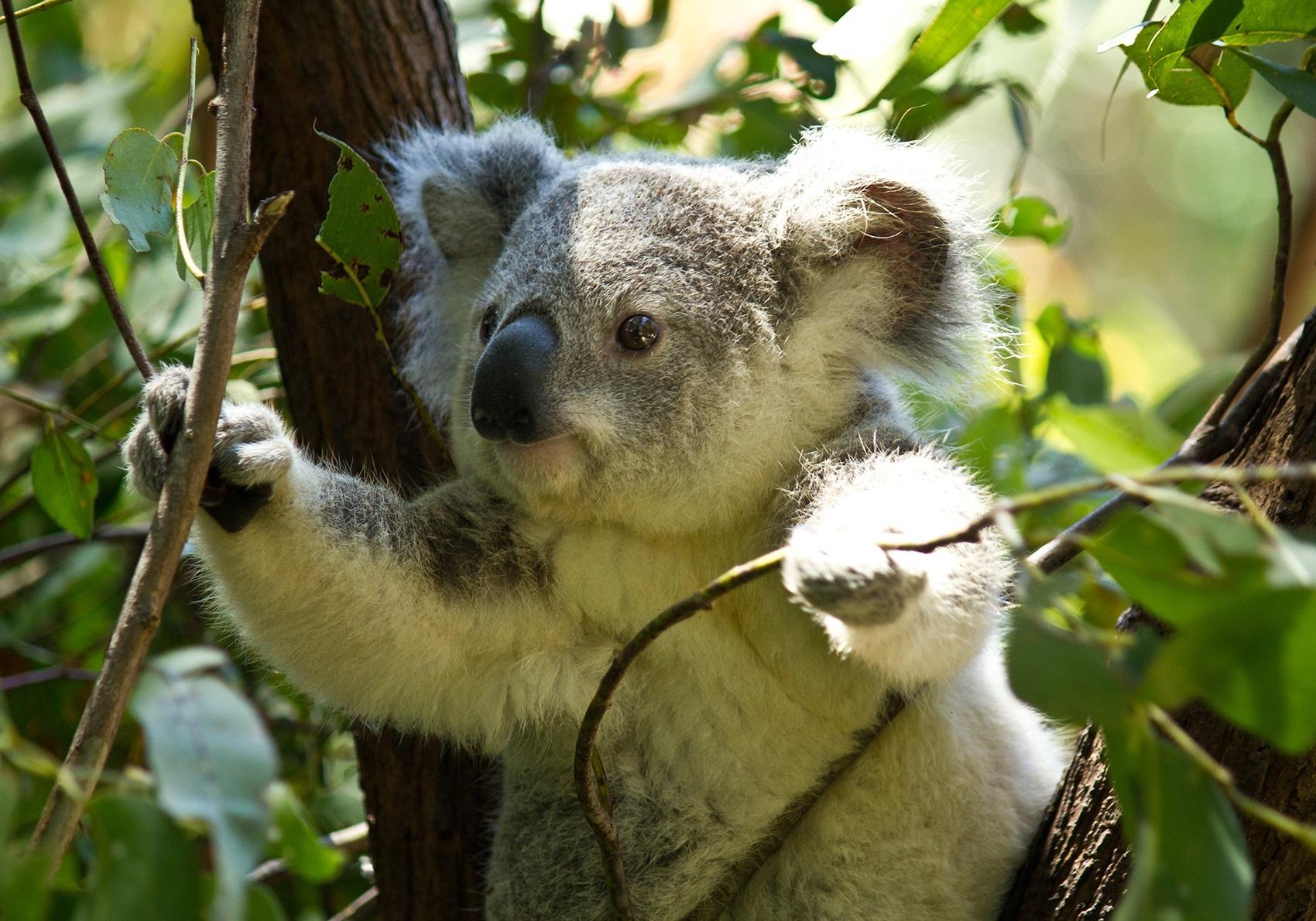 Дроны помогают пересчитывать коал австралийским экологам