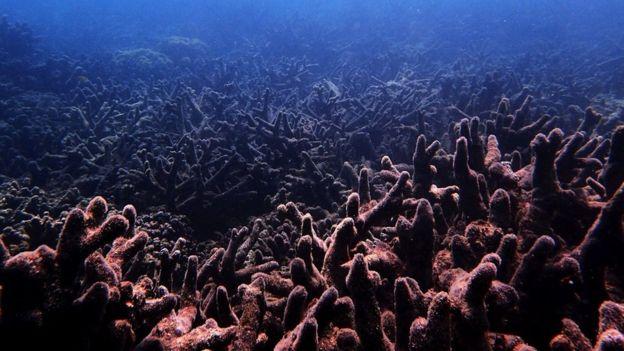 Волны рекордной жары почти мгновенно уничтожают кораллы в Большом Барьер...
