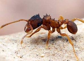 Амазонские муравьи научились размножаться без самцов