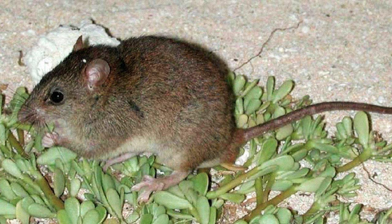 Вымерший вид австралийских крыс признали первой жертвой глобального поте...