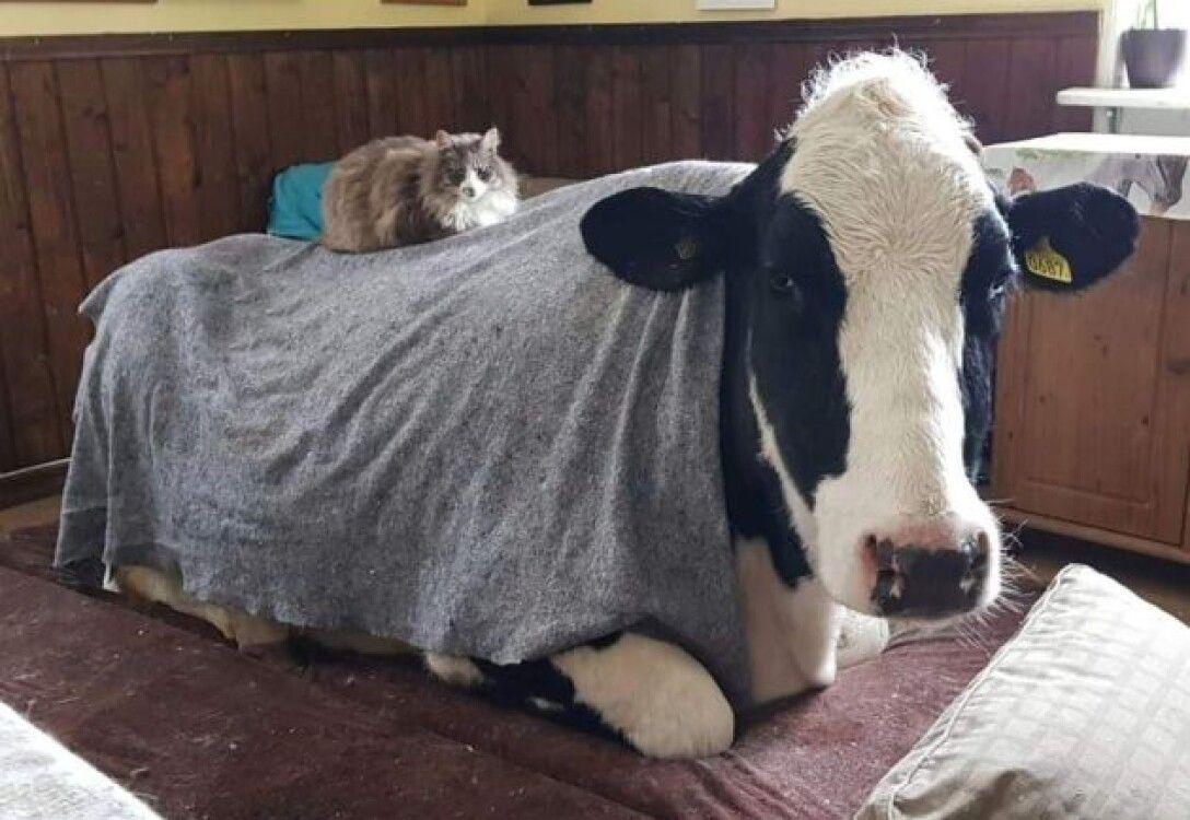 корова Хільда