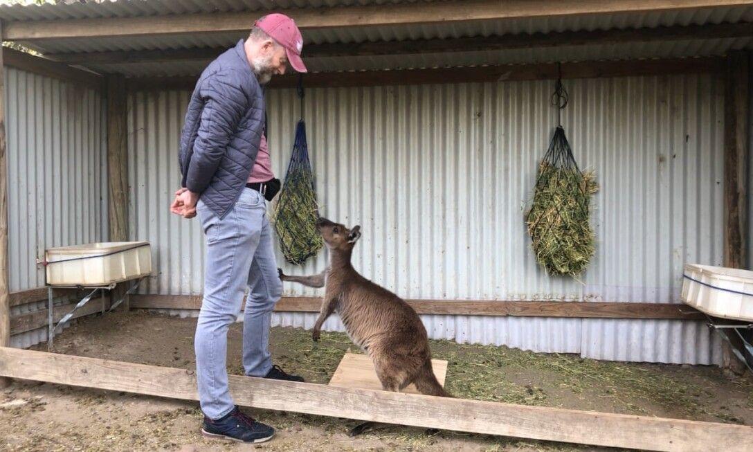 кенгуру, человек, общение